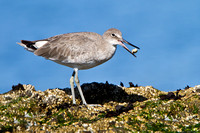 Willet, with prey