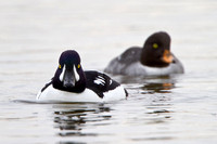 Barrow's Goldeneye, male & female