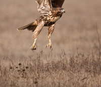 The hawk carries off his meal.