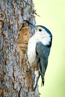 White-breasted Nuthatch, bringing food to the nest