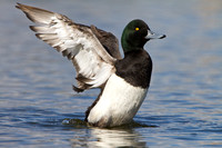 Greater Scaup, male