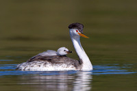 Clark's Grebe, with chick riding atop parent