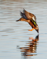 Northern Shoveler, male landing