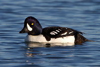 Barrow's Goldeneye, male