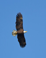 Bald Eagle - Ed Levin