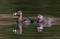Pied-billed Grebe, parent & chick