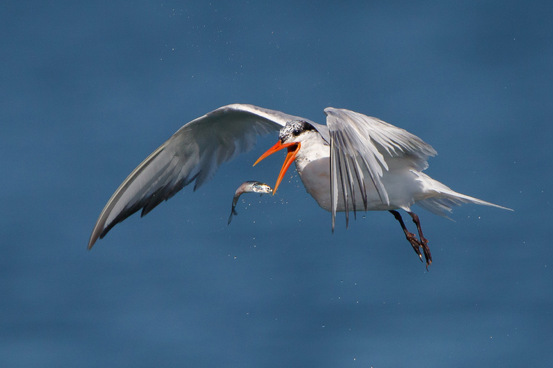 Elegant Tern, tossing fish to reposition for swallowing