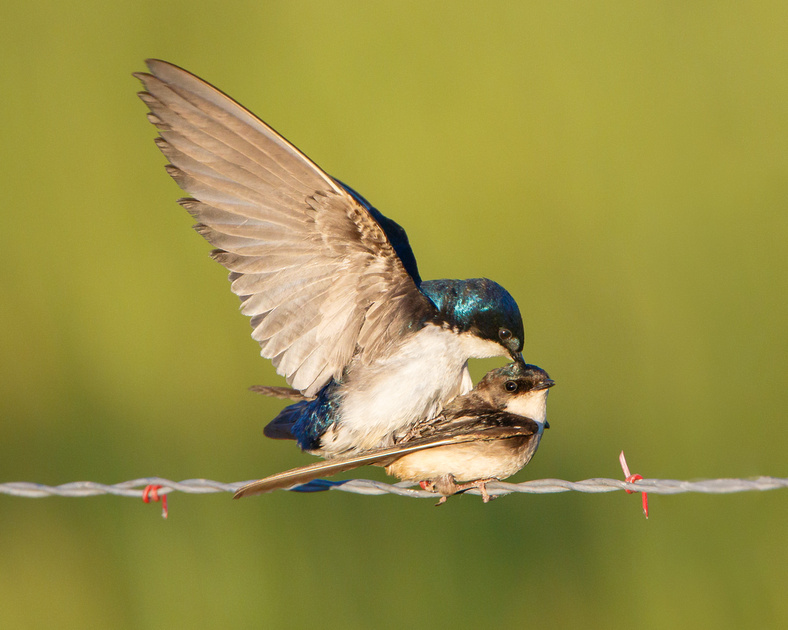 Tree Swallows, mating