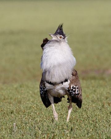 Kori Bustard, courtship display
