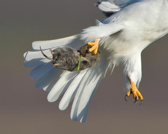 White-tailed Kite, with prey (vole)