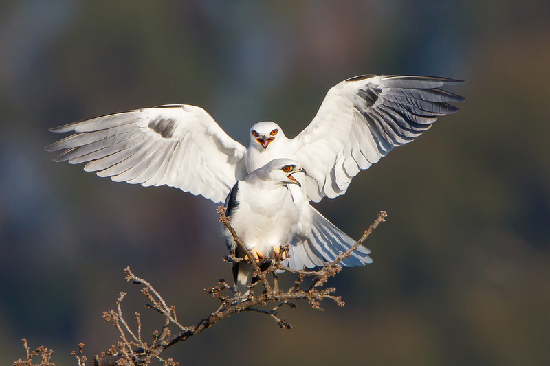 White-tailed Kites, about to mate