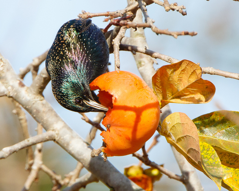 European Starling, eating persimmon