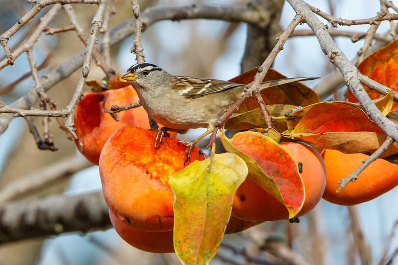 White-crowned Sparrow, atop half-eaten persimmon