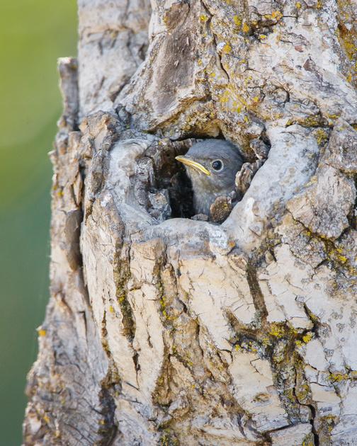 Western Bluebird, nestling