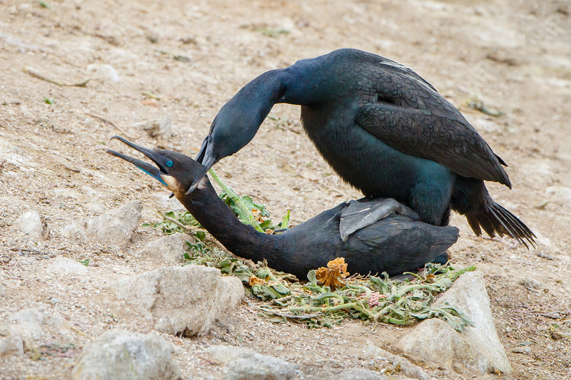 Brandt's Cormorants, mating