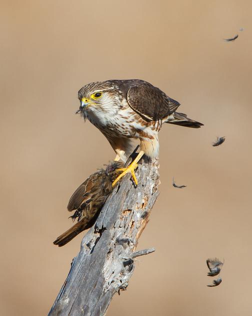 Merlin, feeding on Song Sparrow