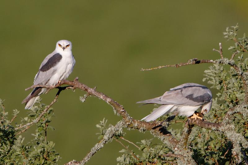 White-tailed Kites, feeding