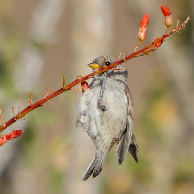 Verdin, fledgling