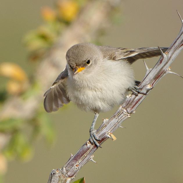Verdin, fledgling begging