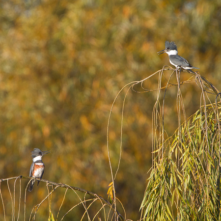 Belted Kingfisher, male & female