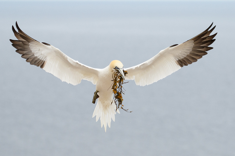 Northern Gannet, with nest material