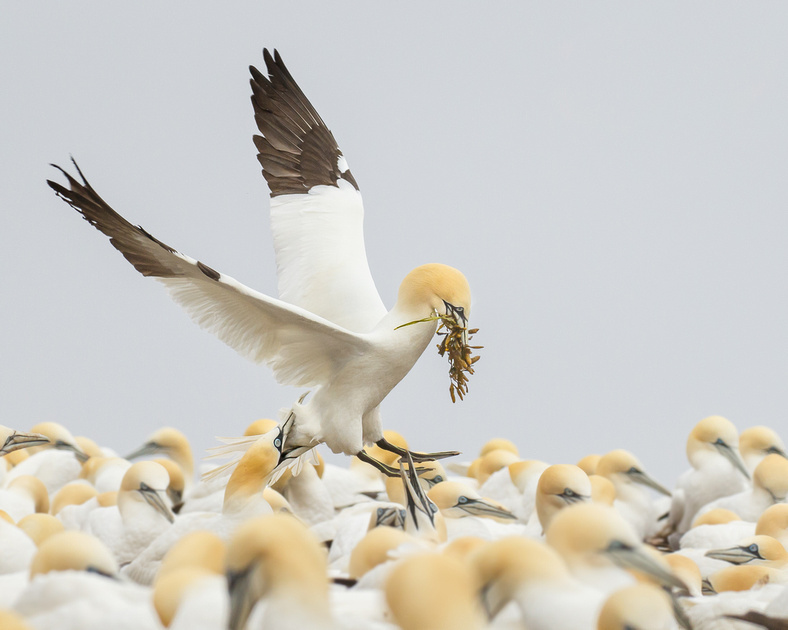 Northern Gannet, arriving with nest material as another nips at its tail