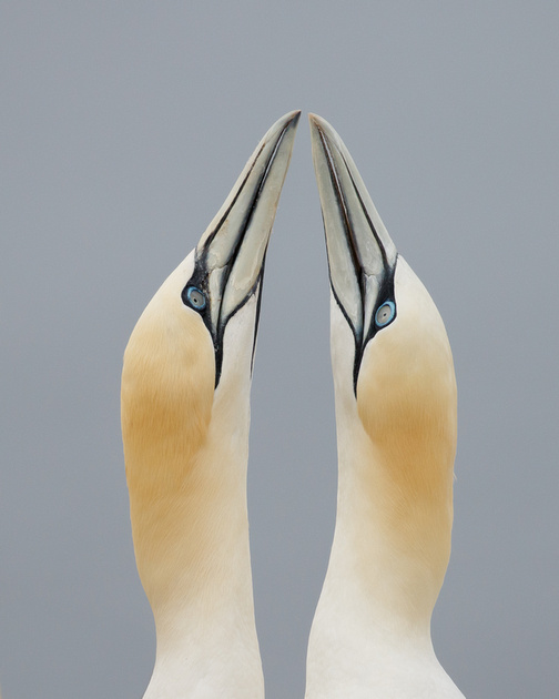 Northern Gannets, courtship
