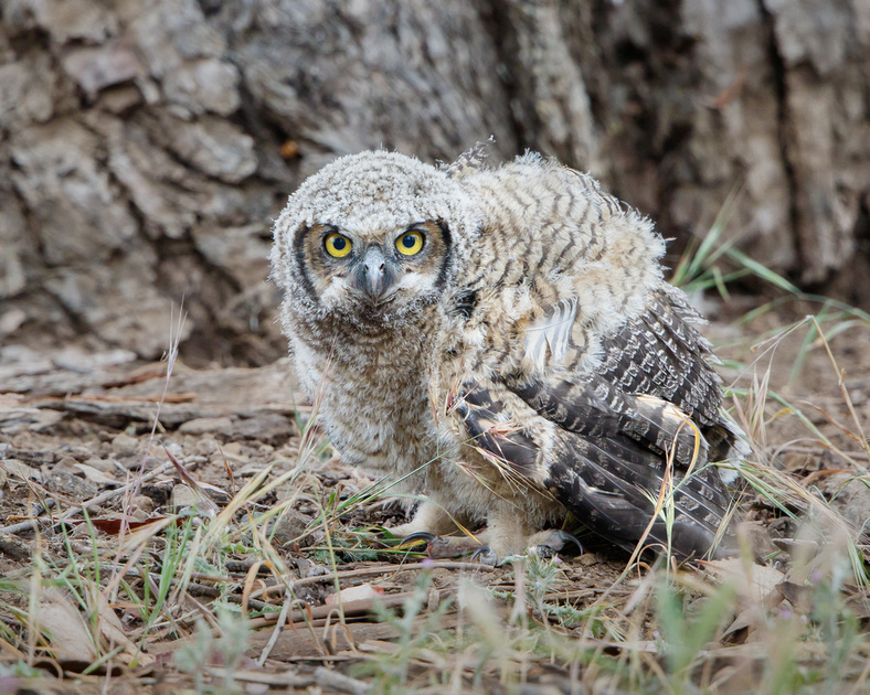 Great Horned Owlet after falling from nest tree