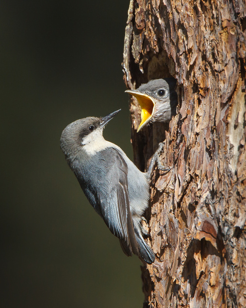 Mountain Bluebird nestling, begging for food from Pygmy Nuthatch
