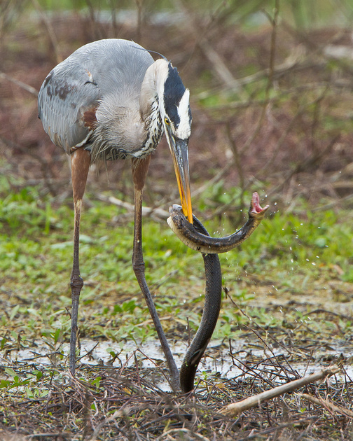 Great Blue Heron in battle with snake