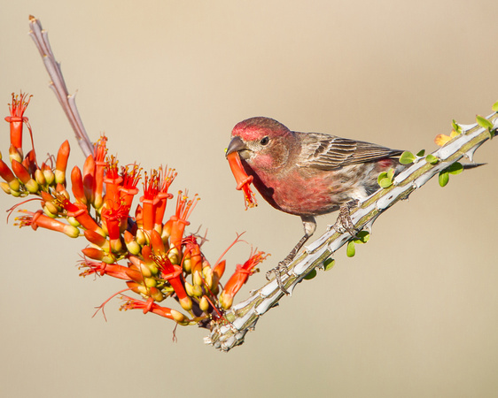House Finch, feeding on Ocotillo flower