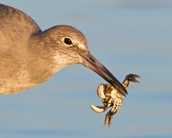 Willet, with crab