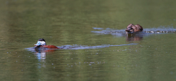 Female Ruddy Duck chasing off male
