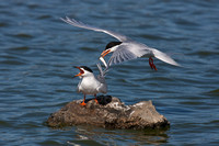 Forster's Terns, female refuses fish offering from male