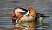 Mandarin Duck (formerly captive)