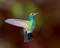 Broad-billed Hummingbird in flight