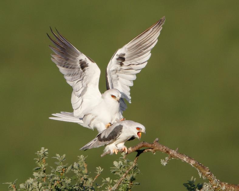 White-tailed Kites, mating