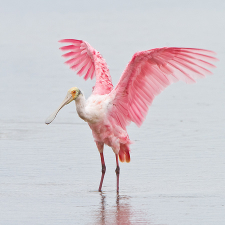 Roseate Spoonbill, with wings upraised