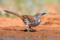 Long-billed Thrsher