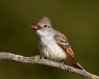 Ash-throated Flycatcher, about to swallow an insect