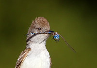 Ash-throated Flycatcher, with dragonfly (Blue-eyed Darner)