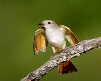 Ash-throated Flycatcher, about to take off in search of more insects