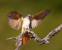 Ash-throated Flycatcher, landing with insect in beak.