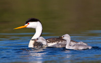 Clark's Grebe, with chicks