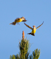 Tropical Kingbirds