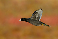 American Coot in flight