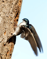 Tree Swallow, at nest hole