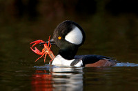 Hooded Merganser, with crayfish