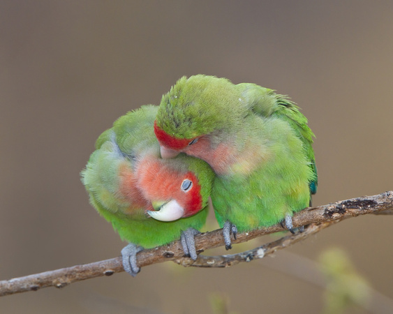 Rosy-faced Lovebirds, preening