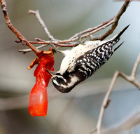 Nuttall's Woodpecker, feeding on persimmons